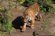 Tiger beim Spurt in seinem Revier