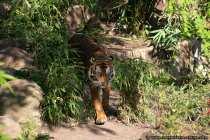 Raubtier Tiger mit praechtiger Maehne