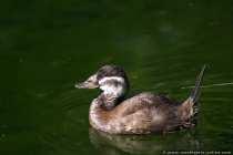 Eine Ente - Der Schnabel erinnert an einen Schuh