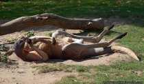 Rotes Riesenkänguru beim Sonnenbaden und relaxen