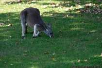 Ich riech doch hier irgend etwas - Schnupper Kaenguruh