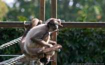 Klammeraffe beim Klammern - Recht verwirrendes Affenbild