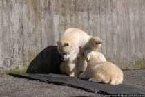 Der kleine Eisbaer Wilbaer hat hunger