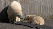 Wilbaer und Mutter Corinna - Eisbaeren