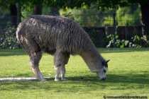 Wenn mal der Rasenmaeher defekt ist, hilft ein Alpaka