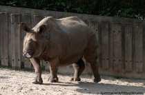 Panzernashorn im Zoo Stuttgart