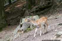 Bambi - Ein sehr junges Reh (Damwild) auf Klettertour