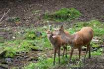 Damwild-Hirsche - Hey soll ich Dir was verraten? Ja, aber mein Ohr ist weiter oben!