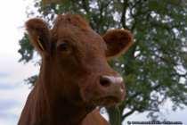 Kuhportraet - Fleckvieh - Brindled Cow