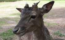Rotwild und Rothirsche sind recht große Tiere und besitzen ein richtiges Geweih. Die Hirschkuehe haben etwas graueres Fell und die Augen stehen mehr hervor. Dammwild und Dammhirsche haben Tupfen auf dem Fell, ein schaufelartiges Geweih und sind kleiner als die Rothirsche.
