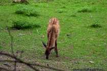 Ein Jungtier wird auch als Kalb bezeichnet und kommt nach 230 Tagen auf die Welt. In der Regel werden nur einzelne Kaelber geboren. Eine Geburt von Zwillingen ist sehr selten und in den meisten Fällen überleben beide nicht. Ein geborenes Kalb kann zwischen 6 und 14kg schwer sein und wenige Stunden nach der Geburt kann das Neugeborene schon stehen und dem Muttertier langsam folgen.