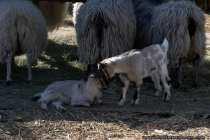 Ziegen - Goats - Head on Head