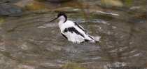 Vogel im Wasser - Bird into the Water