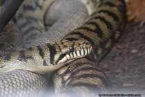Schlange - Snake behind a window