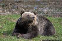 Baer - Bear
