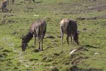 Rotwild beim Grasen - Red Deer