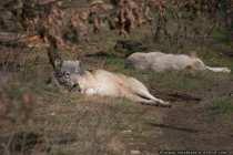 Woelfe beim Mittagsschlaf - Wolves