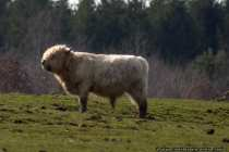 Hochlandrind - Highland Cattle