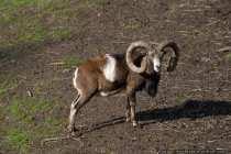 Mufflon Schaf - Sheep