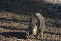 Die Kampfsau - Combat Pig
