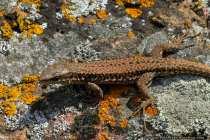 Mauereidechse - Wall Lizard
