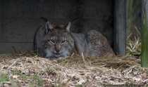 Der Luchs ist gleich nach dem Wolf und Bär die größte Raubkatze, die in Europa lebt. Die Wildkatzen wanderten nach Beendigung der Ausrottungsmaßnahmen nach 1960 in Westeuropa wieder ein und wurden auch gezielt angesiedelt. In einigen Gebieten erreicht der Luchs wieder seine ursprüngliche Populationsgröße. Den eurasischen Luchs kann man an seinen ausgeprägten Backenbart erkennen, den der Luchs in die verschiedenen Stellungen bringen kann. Mit den langen Pinseln an den Ohren verstärken Luchse die Fähigkeit Geräusche zu orten, dabei hören sie ein laufendes Reh in einer Entfernung von bis zu 500 Meter, eine Maus kann ein Luchs auf 50 Meter genau orten. Die Augen des Luchses sind, wie bei allen Katzenarten, sehr lichtempfindlich sowie das wichtigste und leistungsfähigste Sinnesorgan für die Beutejagd in der Dämmerung und bei Nacht. Bei der Beutejagd erreicht der Fuchs eine Geschwindigkeit von 70 kmh, dabei legt er zur Ergreifung seiner Beute nur Kurzsprints von zirka 20 Metern ein. Der Luchs schleicht sich an seine Beute heran und springt diese mit einem erstickenden und tödlichen Biss in die Kehle an. Die Beute wird in einem Versteck untergebracht, worauf der Luchs dann mehrmals zugreift um seinen Nahrungsbedarf von täglich zirka eins bis zwei Kilogramm Fleisch zu decken - Lynx on his sleeping place.