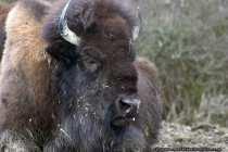 Die großen und impossanten Rinder mit Hörner, die in Afrika, Nordamerika und Eurasien vorkommen, sind Bisons. Die Tiere leben vorwiegend auf offenen Waldgebieten und grasigen Flächen. Der amerikanische Bison, wie auf dem Bild zu sehen, wird auch gerne als Büffel oder Indianerbüffel bezeichnet. Die männlichen Tiere erreichen ein Gewicht von 900 Kilogramm, dabei erreichen sie trotz ihres hohen Gewichts eine Laufgeschwindigkeit von 50 kmh und sind gute Schwimmer. Bei Rangkämpfen setzen Bisons ihre Hörner ein, dabei prallen die Kontrahenten mit den Köpfen mit voller Wucht aufeinander. Bisons ernähren sich von Pflanzen wie Kräuter, Moose und Gräser. In freier Natur erreichen die Tiere ein Alter von zirka 20 Jahren, in Zoo's und Tiergehegen ist die Lebenserwartung größer und es wurden schon Bisons 40 Jahre alt - Bison with nasty look