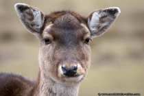 Rotwild Portraet - Baffled red deer