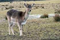 Rotwild - Red Deer