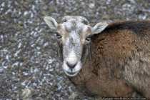 Ziegen sind Hornträger, obwohl es auch hornlose Tiere gibt. Zu den Ziegen gehören die Wildziege, die Hausziege und verschiedene Steinböcke. Ziegen besitzen Hufen, die für das Klettern auf felsigen und steinigen Gebirgsregionen ausgelegt sind - Laughing goat.