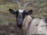 Geiß oder Zicke wird das weibliche Tier der Ziegen genannt. Das männliche Tier bezeichnet man als Bock, das kastrierte als Mönch - Billygoat with cornets.