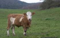 Brindled cow - (Genetisch) Hornloses Fleckvieh eignet sich sehr gut für die Laufstall- und Gruppenhaltung, ebenso wird die Verletzungsgefahr minimiert. Das Fleckvieh wurde ab dem Jahre 1835 aus dem Simmental nach Deutschland importiert und es begann in Baden-Württemberg und in Bayern die Reinzucht des Fleckviehs. Es gibt Länder, wie Großbritannien, Dänemark, Schweden, USA, Argentinien, Brasilien, die halten das Fleckvieh zur Fleischnutzung und Fleischproduktion. Das Fleckvieh, auch unter dem Namen Simmentaler bekannt, ist die zweitgrößte Rinderrasse der Welt, bei der die Milchgewinnung und Fleischleistung gleichermaßen eine Rolle spielt. Der weiße Kopf ist ein Merkmal der Fleckvieh-Rasse, welcher dominant vererbt wird. Das Fell variiert von Hellgelb bis zu einem dunklen Rotbraun und die weißen Flecken sind sehr variabel. Die Kühe bringen zirka 600 bis 800 kg auf die Waage, wobei die Stiere zwischen 1100 bis 1300 kg um etliches schwerer sind. Die Kühe haben eine Milchleistung von 6000 bis 8000 kg bei 4 Prozent Fett und 3,5 Prozent Protein. Eine hohe Abkalberate wird durch die gute Trächtigkeitsrate von 95 Prozent der Kühe, den Zwischenkalbungszeiten von durchschnittlich 378 Tagen, sowie den häufigen Zwillingsgeburten von zirka 4 Prozent gesichert.