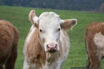 Cow - Kühe sind Gewohnheitstiere, die jeden Tag Ihre Eintönigkeit mögen. Bei radikalen Veränderungen, zum Beispiel Umzug in einen neuen Stall, reagieren Kühe mit Stress. Das hat zur Folge, dass eine Milchkuh weniger Milch gibt, bis diese die Veränderung akzeptiert hat. Eine Kuh, die abgekalbt hat, gibt Milch. Die Milch nach dem Abkalben ist allerdings für den Menschen nicht genießbar, deshalb wird diese Milch (Biestmilch), welche sehr reich an Nährstoffen ist, dem Kalb gegeben. Sieben Tage nach dem Abkalben kommt die Kuh in einen Melkstand und durch eine Melkvorrichtung wird der Kuh nun über ihre vier Zitzen Milch entzogen. Diese gemolkene Milch können wir Menschen in den verschiedensten Formen kaufen - Zum Beispiel als Käse, H-Milch oder Kondensmilch für unseren morgendlichen Kaffee.