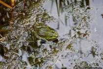 Der kleine Teichfrosch wird von 4,5 bis 7,5 Zentimeter groß. Die Frösche sind auf der Oberseite meist grasgrün und werden deshalb auch Grünfrösche genannt. Es können aber auch braune und blaugrüne dieser Frösche, wenn auch seltener, vorkommen.
