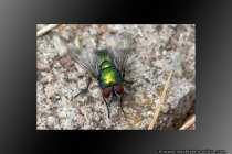 Die Geschmacksorgane der Schmeissfliegen sind an den Fußgliedern zu finden. Sie bevorzugen Orte von faulenden Stoffen, wie die Biomülltonne. Auf den faulenden Stoffen werden dann auch die Eier abgelegt - Common greenbottle fly.