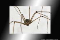 Spinnenangst, Spinnenphobie und Arachnaphobie. Diese Angst des Menschen wird ausgelöst durch das Erscheinungsbild und die Bewegungsart der Spinne. Die Mehrzahl der Phobiefälle liegt allerdings in der Erziehung. Ein Kind orientiert sich an einer Bezugsperson, wenn diese schon an einer Arachnaphobie leidet, ist es möglich, dass das Kleinkind diese Angst sich zu eigen macht. Die Phobie kann mit einer Konfrontation geheilt werden - Long legged cellar spider.