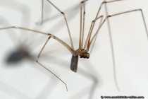 Die Spinnen mit den sehr langen, sowie zierlichen Beinen, meist auch als Webspinnen bezeichnet, sind Zitterspinnen. Das Netz der Zitterspinne, welches unregelmäßig, sehr groß und dreidimensional gewebt wird, ist meist mit bloßem Auge nicht zu erkennen - House Spider.