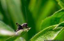 Heuschrecke - Locust / Grashüpfer - Grasshopper. Es sieht aus wie eine Heuschrecke (Körperbau) und es springt wie eine Heuschrecke. Leider konnte die eindeutige Bestimmung des Insekts nicht abgeschlossen werden - Cicada - locust - grasshopper