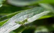 Gruenes Heupferd - Heuschrecke. Diese Heuschrecke ist allerdings nur zirka 1,5 cm groß. Entweder wächst das Heupferd noch um ein vielfaches heran (4-5 cm) oder die Bestimmung des Insekts ist nicht korrekt - Great green bush cricket.