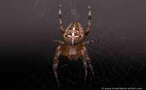 Garten Kreuzspinne im Netz - Europe-Spider - Garden spider - Diadem spider - Cross spider - Orb-weaver-Spider
