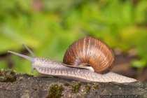 Weinbergschnecke (Helix pomatia) in voller Fahrt - Burgundy snail - Roman snail - Edible snail - Land snail.