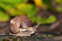 Erst mal schaun ob die Luft rein ist - Weinbergschnecken sind Landschnecken - Snail looks out of her house.