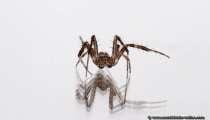 Eine tanzende Spinne auf einem Spiegel mit weißem Hintergrund -> Nächstes Bild mit giftig grünem Hintergrund. Die Farbunterschiede entstanden durch seitliches Abdecken des Spiegels mit farbigen Kartons - A dancing spider on a mirror.