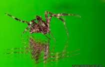 Eine zappelige Gartenkreuzspinne. Die Spinne legte einen unermüdlichen Breakdance hin, dass ich schon kurz vorm verzweifeln war. Makro und eine Breakdance-Spinne... ich wollte sie schon aufspießen, einfrieren.... Nein, ich bin ja ein Tierfreund und wie man sieht, hat die Schärfe ja auch mal gesessen. Meine Freundin mag Spinnen, als Sie mich dann sah, auf dem Gartentisch mit dem Spiegel und dem zappeligen Tierchen.... Aaaaah, Nein, nichts passiert.. habe das Tier gerettet und in unserem Garten ausgesetzt :) Spinnen wären ein Trennungsgrund... Ich wollte Sie ja gar nicht mit ins Bett nehmen (Die Spinne), aber okay... wir besitzen ja noch andere Tierchen im Garten ;-) Da der Fokus zu präzise saß und das Tier sich flink aus dem Schärfebereich zappelte, habe ich bewusst einen Frontfokus (manuell) eingestellt, damit sich die Spinne in den Schärfebereich hineintanzen konnte - Diadem Spider on a Mirror.