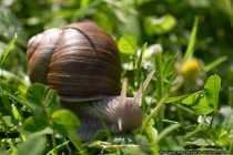 Die Schnecke gehört zur Klasse der Weichtiere. Sie tragen meist ein Schneckenhaus (kalkige Spiralschale) um ihren Eingeweidesack. Der Kopf trägt Fühler mit Augen. Viele Schnecken sind Zwitter (Zweigeschlechtlich). Man unterscheidet zwei Arten von Schnecken: Die Kiemen-Schnecken, wie die Kaurischnecke, Napischnecke, Wellhornschnecke, welche meist Meeresbewohner sind und die Lungen-Schnecken, wie die Gartenschnecke, Tellerschnecke, Wegschnecke und Weinbergschnecke. Zwischen Körper und Schale liegen die Atemorgane, entweder Kiemen oder Lungen. Schnecken ernähren sich vorwiegend von Pflanzen und bewegen sich nur langsam fort - Snail.