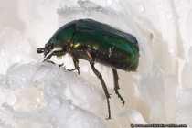 Käfer auf einer Pfingstrose - Bug on a peony