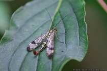 Panorpa Vulgaris - Scorpion Fly
