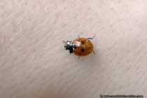 Marienkaefer - Ladybug