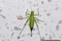 Dem Grashüpfer war es draußen wohl zu kalt. Die grüne Heuschrecke ist umgangssprachlich auch als Grashüpfer oder Graspferdchen bekannt. Heuschrecken sind Geradflügler mit sprungkräftigen Hinterbeinen. Die Laubheuschrecke auch als Heupferd bekannt ist grün und hat lange Fühler. Mithilfe von Schrill-Leisten an Flügeldecken oder Beinen können fast alle Heuschrecken zirpende Töne von sich geben - Grasshopper into the floor.