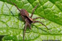 Thekla die Spinne. Spinnentiere gehören zur Gruppe der Gliederfüßler, wobei der Körper aus Hinterleib und einem einheitlichen Kopfbruststück besteht. Spinnen sind mit Haken, Kämmen und Bürsten zum Glätten des Spinnfadens ausgestattet. Sie sind meist Einzelgänger und ernähren sich von Kleingetier, dass sie mit Hilfe ihres Spinnennetzes fangen. Die Beute, welche sich im Netz verfängt wird mit den Giftklauen getötet. Das Fangnetz ist meist durch einen Signalfaden mit dem Wohnnetz verbunden - Thekla the spider.